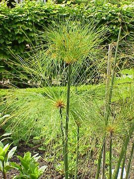 Plante cyperus papyrus